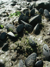 mussels200