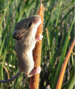 The endangered salt mouse harvest mouse thrives in marshes with mixed vegetation where it can climb to escape high tides. Image credit: CDFW