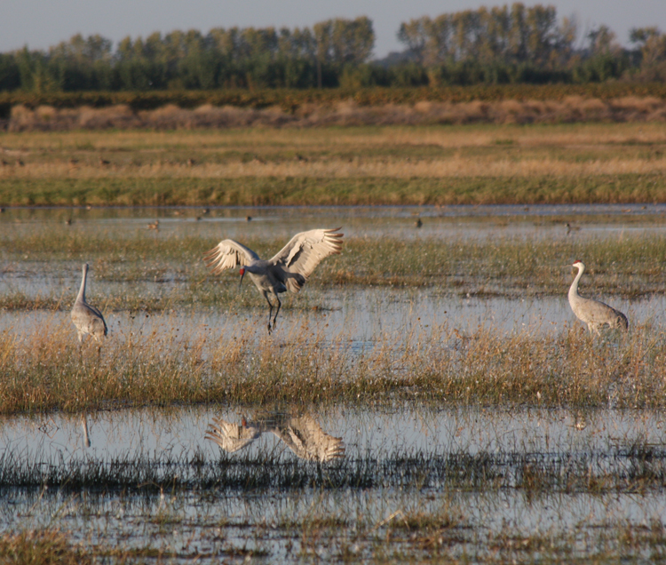 Caption: Big birds like sandhill cranes may be able to adapt to climate change in the Delta by soaring to better habitat, but smaller, less mobile species may face difficulties reaching safe harbors.Image Credit: Max Eissler