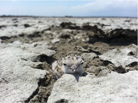 Scattering oyster shell over the nesting grounds of the western snowy plover appears to improve rates of chick survival. Image credit: Karine Tokatlian