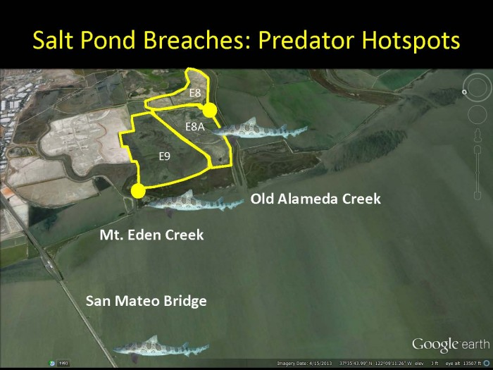 Restored salt ponds in the Alviso Slough-Coyote Creek complex have become so productive that predators such as leopard sharks gather at their outlets to the Bay. Image credit: James Hobbs
