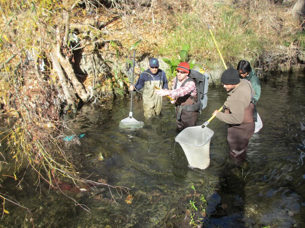 Netting juvenile steelhead in the upper Guadalupe River watershed. Photo James Hobbs