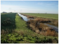 Lower Yolo Ranch. Western Yolo Bypass flood control levee on left, irrigated cattle pasture on right with grazing cattle, large irrigation supply ditch in center. Photo by Stuart Siegel, Oct 2009, pre-restoration.