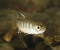 Juvenile coho in freshwater phase, pre-smolting. Photo: NOAA Fisheries.