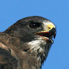 Hawk Photo - James