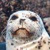 seal-salmon