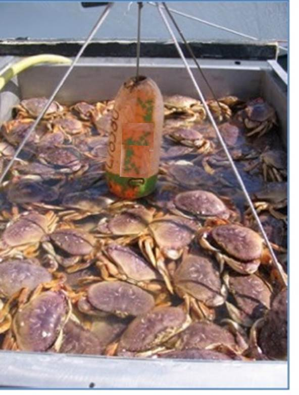 Dungeness crab catch. Source: Carrie Pomeroy, Cal Sea Grant