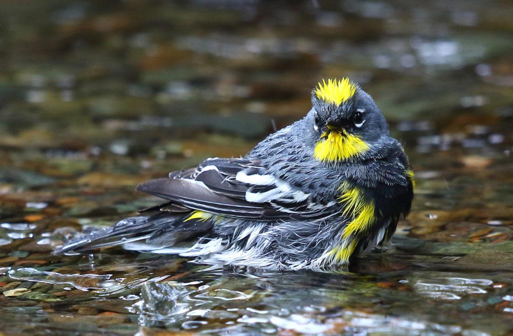 Yellow-rumped warbler, a common riparian bird.
